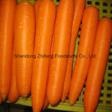 2017 Fresh Red Carrot with High Production