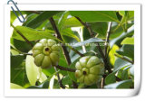 Lose Weight Manufacturer Garcinia Cambogia Hca 10: 1 Extract Powder
