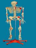 Labeled Human Body Skeleton Model for Medical Teaching (R020106)