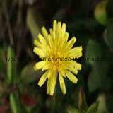 Natural Dandelion Pollen Tablets