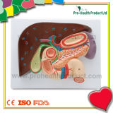 Professional Liver Medical Educational Model