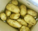 2016 New Crop Potato
