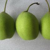 Good Quality of Fresh Green Ya Pear