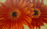 Wholesale Big Golden Yellow Flower Painting Wall Pictures for Living Room (LH-050000)