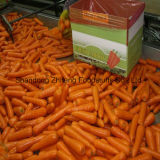 2017 Competitive Fresh Carrot with Good Price
