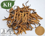 Natural Cordyceps Extract with Competitive Price