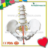 (pH03-068) Human Lumbar Vertebra Bone Construction Anatomical Education model