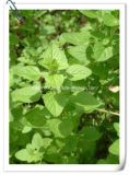 Manufacturer Natural Wild Marjoram/Oregano 10: 1 Extract Powder