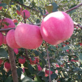 Competitive Offer for Fresh Blush Red FUJI Apple