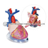 Model of Heart Dissection 4 Parts