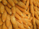 Natural Good Quality Dried Corn/Maize