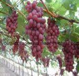 100% Natural Grape Pollen Tablets