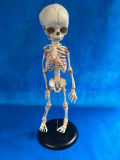 Baby Torso Skeleton Medical Education equipment Model