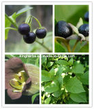 Belladonna Extract From Kingherbs Factory