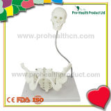 Gynecological Parturition Pelvic Cavity Demonstration Anatomical Education Model