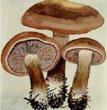Lentinus Edodes P. E. /Mushroom Extract Polysaccharide