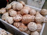 2016 Manufactured Healthy Fresh Dried White Flower Mushroom