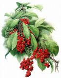 Schisandrol a by HPLC:   1%, 2%, 3% Schisandra Berries P. E