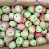 2015 Harvest Season for Jiguan Apple
