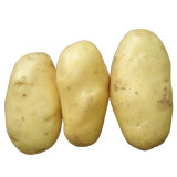 New Crop Fresh Potato (150g and up)
