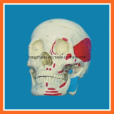 Life Size Human Muscular Skull Model for Hot Selling