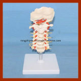 Human Size Cervical Model with Discs and Spinal Nerves Anatomy Model