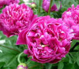 High Quality 100% Natural White Peony P. E 98% Albiflorin / Paeoniflorin with Best Price