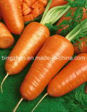 Export New Fresh Red Carrot in Carton at a Low Price