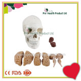 Classic 3 Part Skull Anatomy Model With Removable Brain Dissect Into 8 Parts Model
