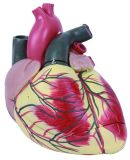 Human Heart Model, Enlarged Heart Model, Giant Heart Model