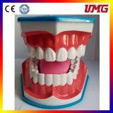 Top Selling Dental Teeth Study Model