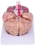 Anatomical Brain with Arteries and Nerves Model