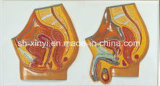 Xy-1560 Relief Model of Human Genital System