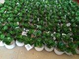 Piante e fiori artificiali della pianta succulente Gu-SD0371