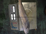 準備ができたStock Sea Frozen Mahi Mahi Whole Round 2kgs +、Big Size
