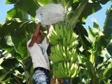 Saco biodegradável do grupo da banana dos PP