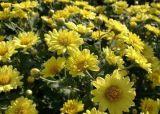 Extrato de flor de crisântemo natural 100%