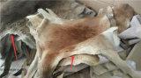 Pelle grigia del canguro dell'Australia come a casa coperte del pavimento di moquette