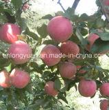 Pila de discos en 20kg el cartón Qinguan fresco Apple