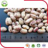 2016粒の新しい穀物のライトによって斑点をつけられる腎臓豆かインゲンマメ