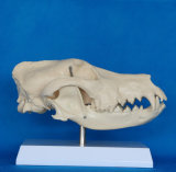 [هيغقوليتي] كلب جمجمة علم نموذج لأنّ علم الأحياء تعليم ([ر190114])
