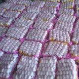 Nuova raccolta di aglio bianco normale fresco