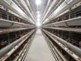 Jaula automática durable y estable de Longfeng del pollo (calientes galvanizados)