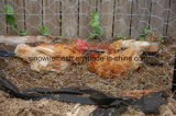 Heiß-Eingetauchte galvanisierte sechseckige Huhn-Draht-Filetarbeit mit Qualität