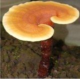 Горячая выдержка полисахаридов Ganoderma Lucidum сбывания
