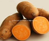 工場供給の自然なサツマイモのエキスの粉またはIpomoeaのサツマイモL.