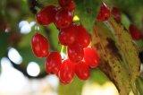 Естественный Asiatic порошок выдержки плодоовощ вишни Cornrlian