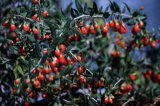 Ягода Ningxia свежая Goji (Wolfberry)
