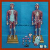 내조직 해부학 모형 (17 PCS)를 가진 85cm 인간적인 근육 흉상