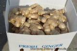 El jengibre fresco, con alto estándar de exportación
